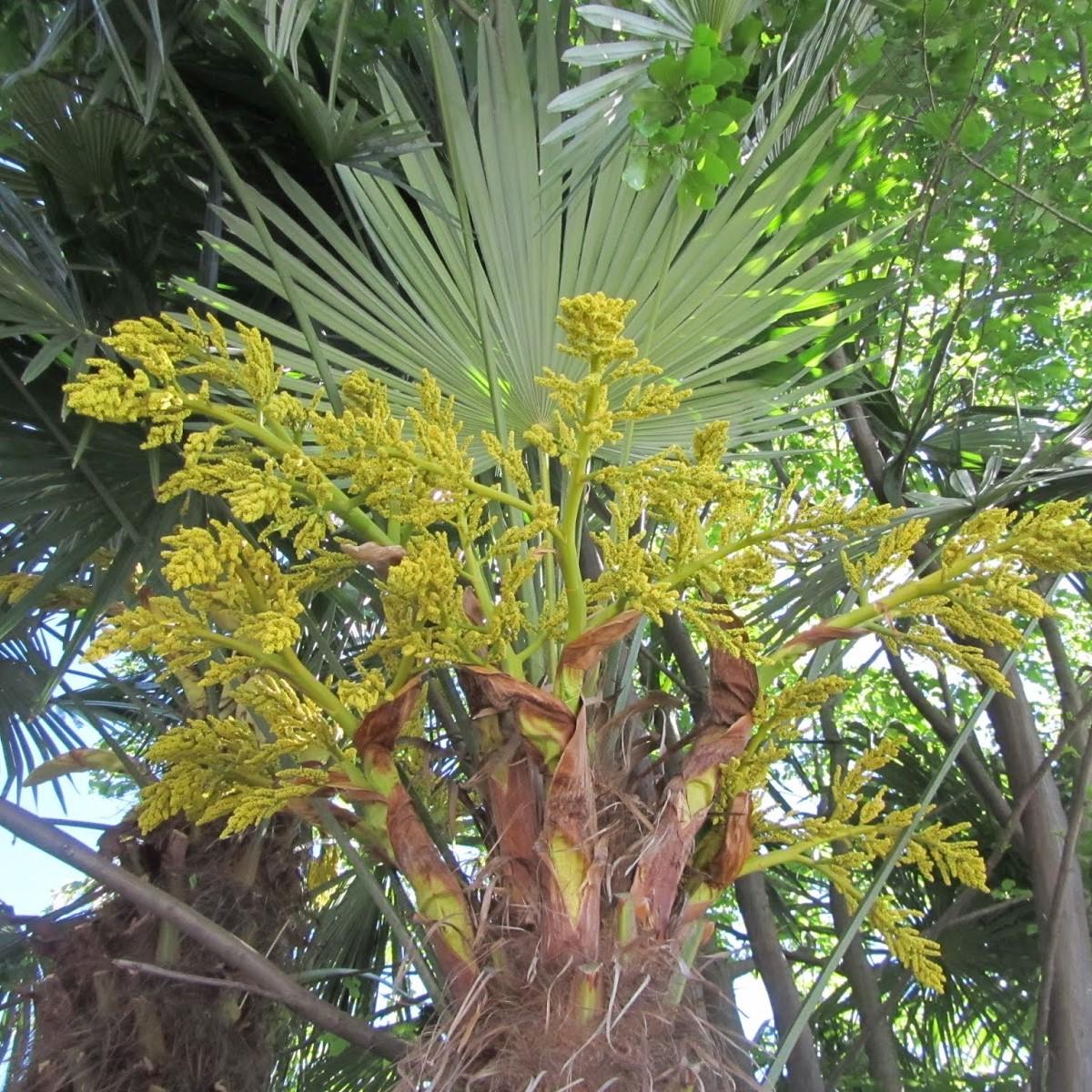 Palme Da Vaso Per Esterno comune monteceneri - la palma da giardino invade i boschi: è